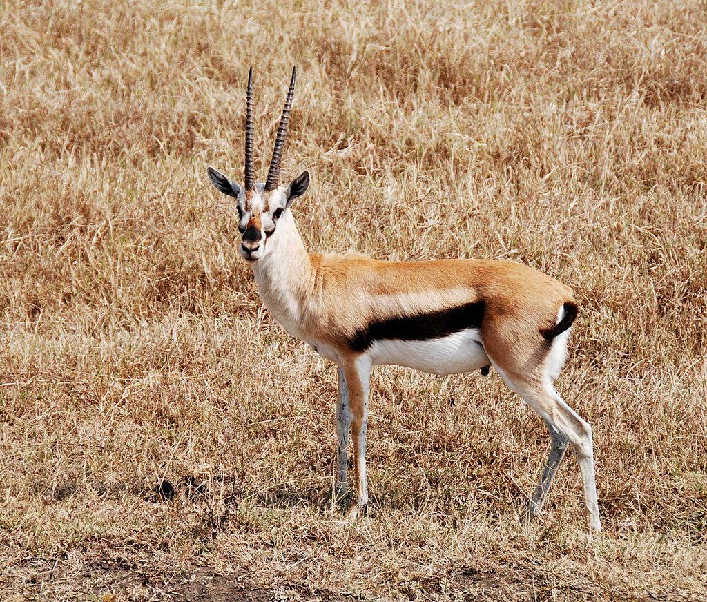 1024px-Thompson_gazelle